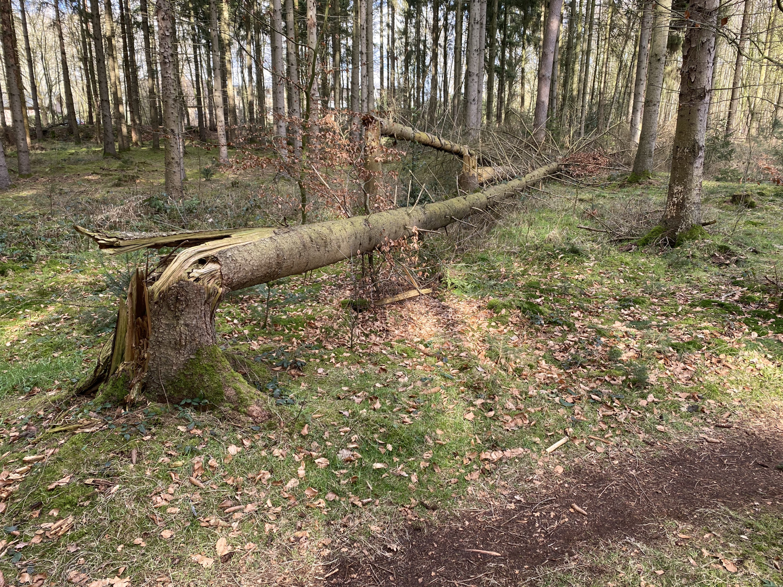 Umgefallener Baum im Burgwald Dinklage · 26. Febuar 2021