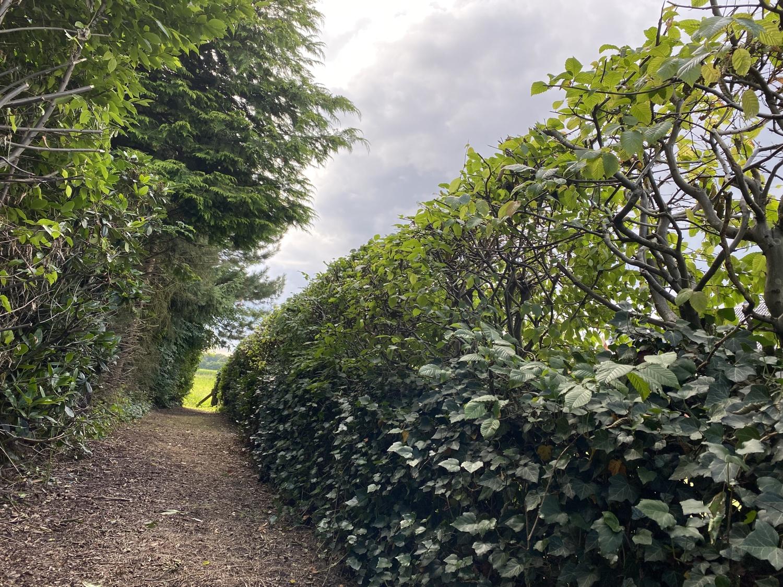 Hecke am Friedhof in Dinklage · 03. August 2021